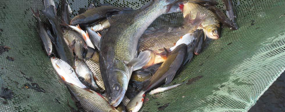 Besatzfische aus eigener Aufzucht!