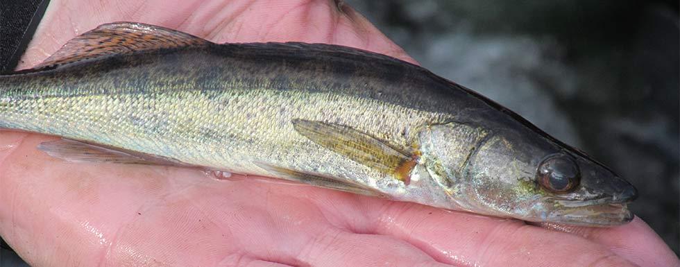 Besatzfische aus besten Händen